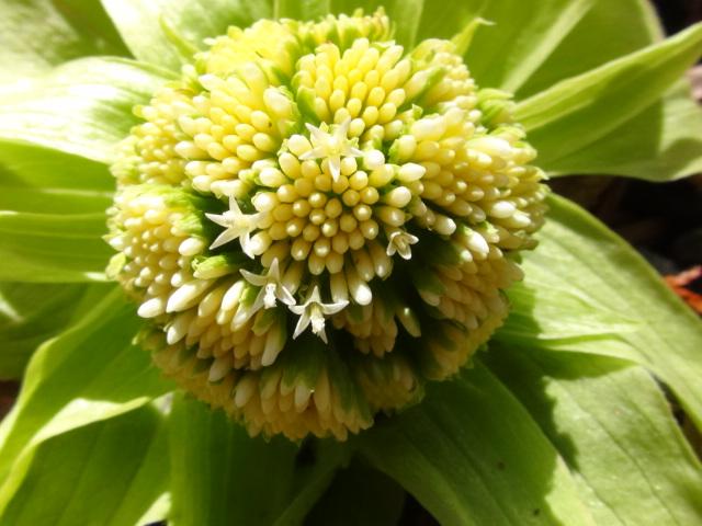 蕗の薹も花盛り…2016/3/28_f0231709_1505963.jpg