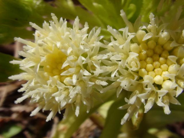 蕗の薹も花盛り…2016/3/28_f0231709_151457.jpg