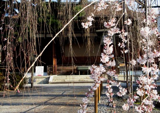 2016 桜だより12 千本釈迦堂_e0048413_2173714.jpg
