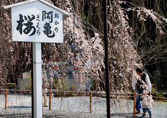 2016 桜だより12 千本釈迦堂_e0048413_2175599.jpg