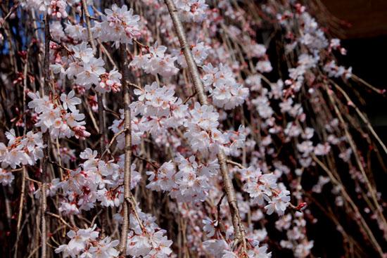 2016 桜だより12 千本釈迦堂_e0048413_2181530.jpg
