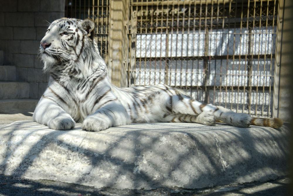 2016.3.20 東武動物公園☆ホワイトタイガーのスカイ【White tiger】_f0250322_2112146.jpg