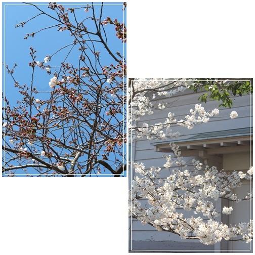小田原城の桜と一夜城 ヨロイズカファーム_c0141025_16420144.jpg