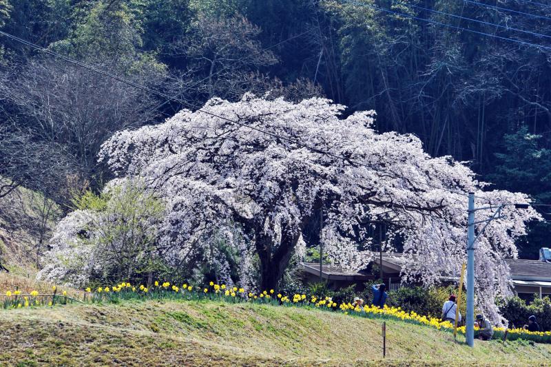 堀池のしだれ桜 2016 ②_d0246136_18195059.jpg