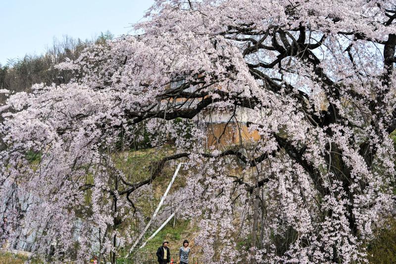 堀池のしだれ桜 2016 ②_d0246136_18202533.jpg