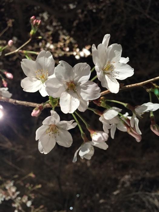 京都の桜_f0054539_22525009.jpeg