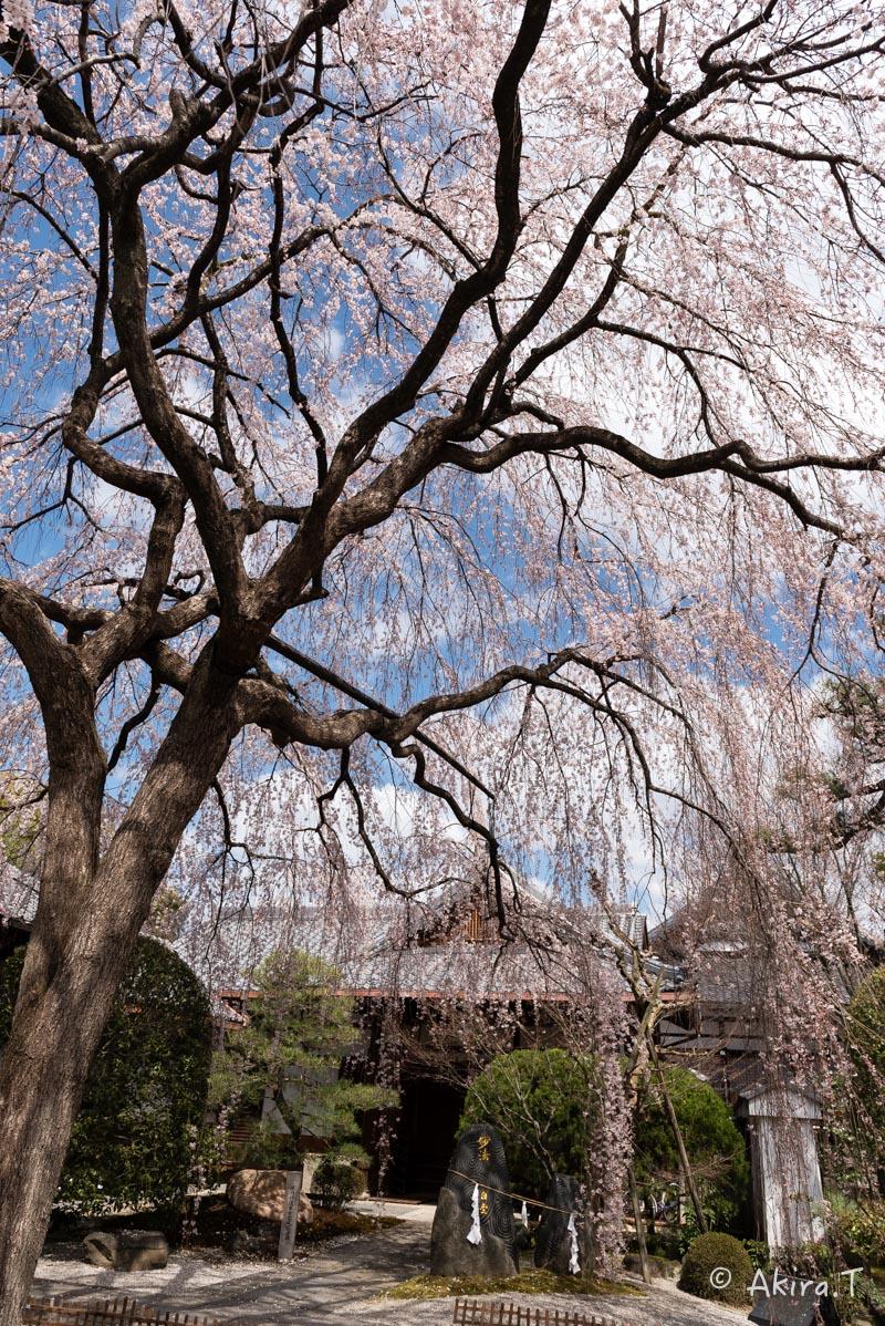 京都の桜 2016 〜本満寺〜_f0152550_2221439.jpg