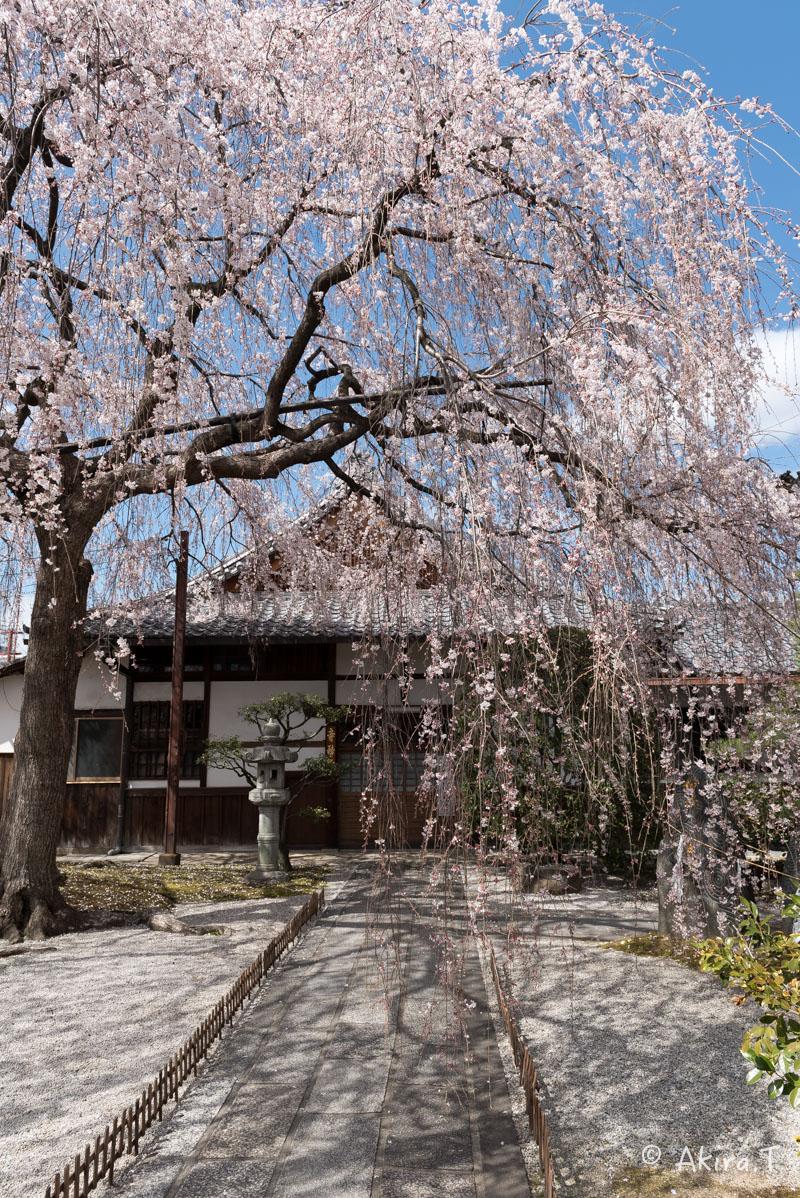 京都の桜 2016 〜本満寺〜_f0152550_22221177.jpg