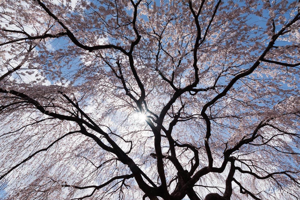 京都の桜 2016 〜本満寺〜_f0152550_22233668.jpg