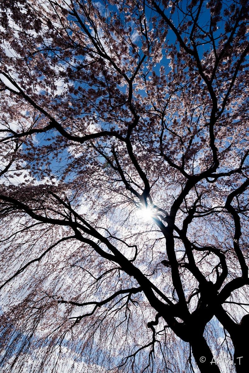 京都の桜 2016 〜本満寺〜_f0152550_22235368.jpg