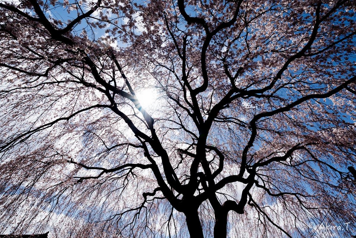 京都の桜 2016 〜本満寺〜_f0152550_2223654.jpg