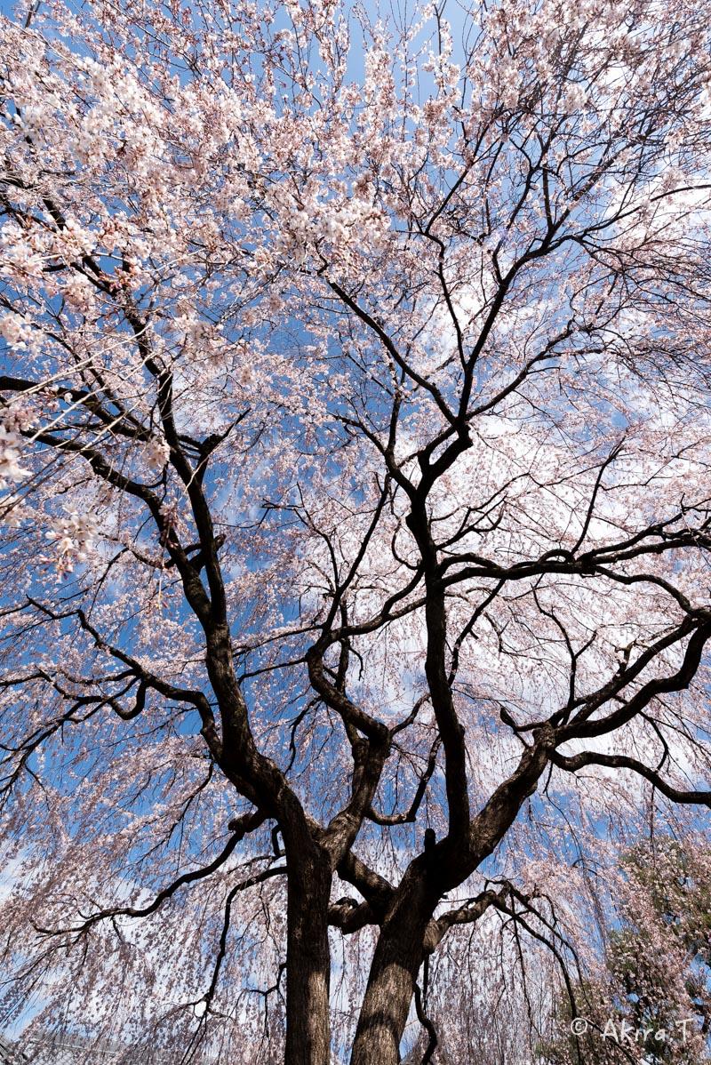 京都の桜 2016 〜本満寺〜_f0152550_22241089.jpg
