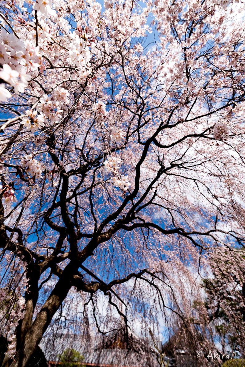 京都の桜 2016 〜本満寺〜_f0152550_22243013.jpg