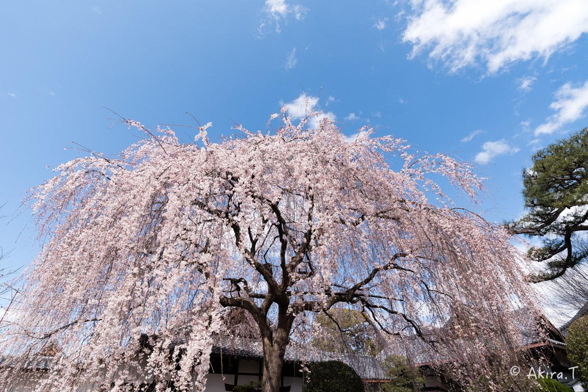 京都の桜 2016 〜本満寺〜_f0152550_22244990.jpg