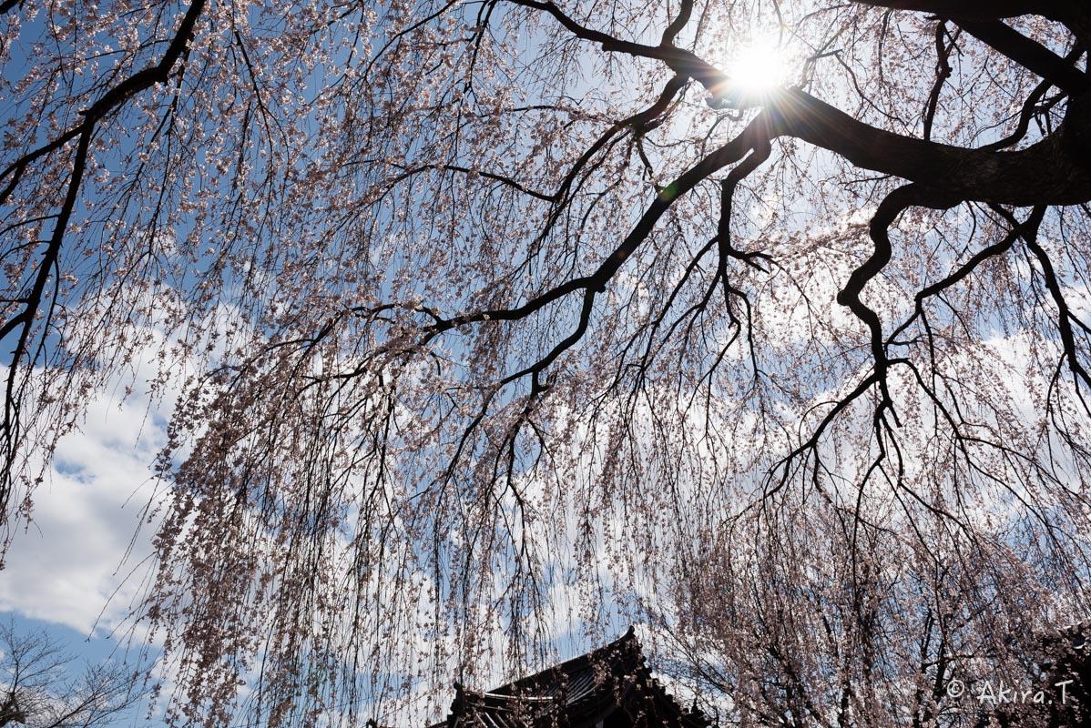 京都の桜 2016 〜本満寺〜_f0152550_22255436.jpg