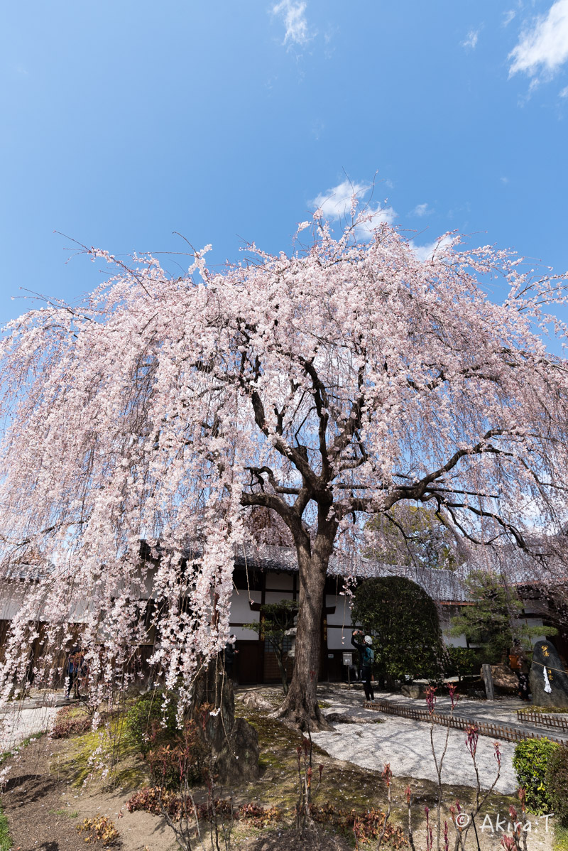 京都の桜 2016 〜本満寺〜_f0152550_222574.jpg