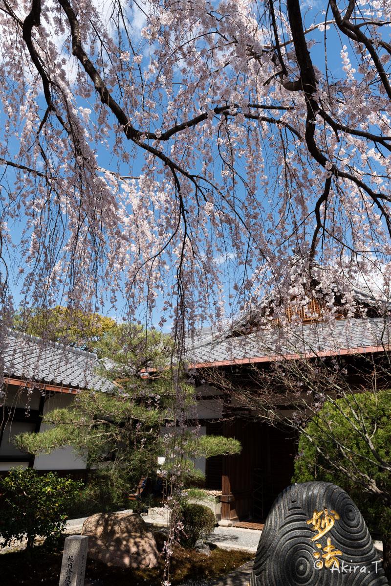 京都の桜 2016 〜本満寺〜_f0152550_2227636.jpg