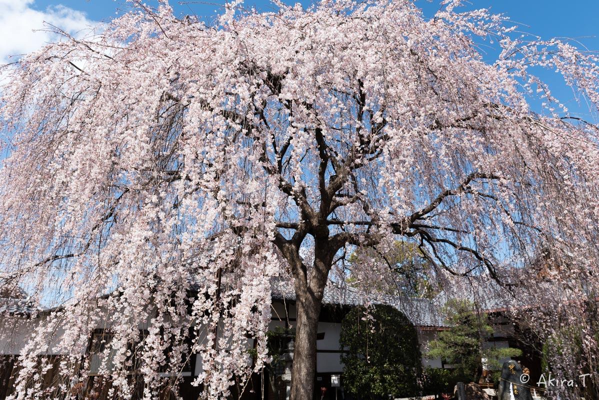 京都の桜 2016 〜本満寺〜_f0152550_22292194.jpg