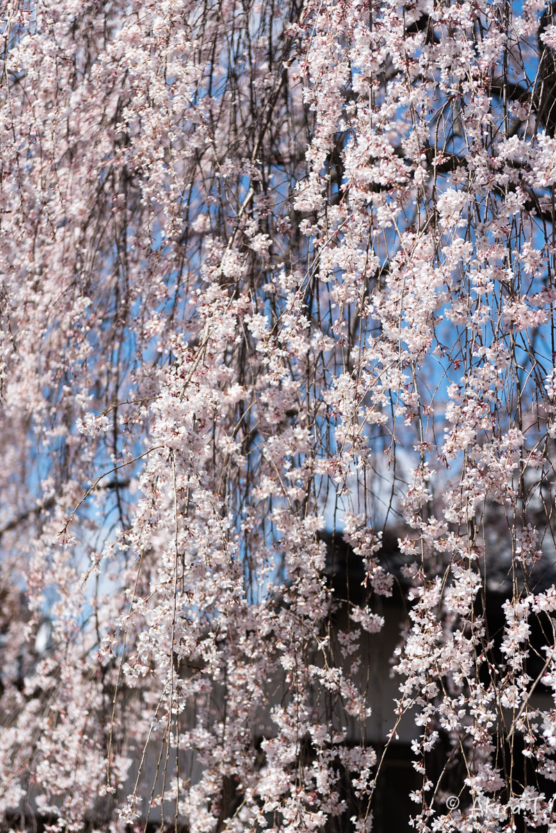 京都の桜 2016 〜本満寺〜_f0152550_2229283.jpg