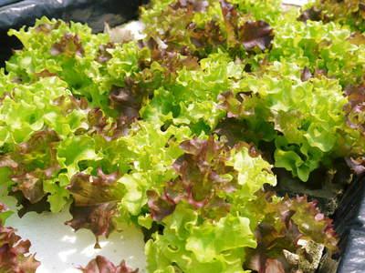 水耕栽培 無農薬で育てた朝採りサラダほうれん草、サラダリーフ、サラダ水菜!販売スタート!!_a0254656_17313775.jpg