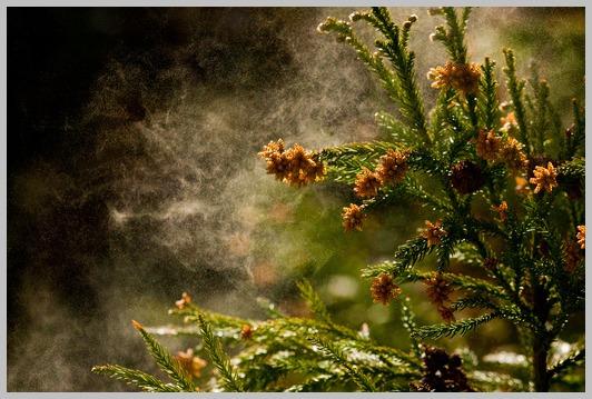 山形の花粉、今がピーク_e0084756_1846518.jpg