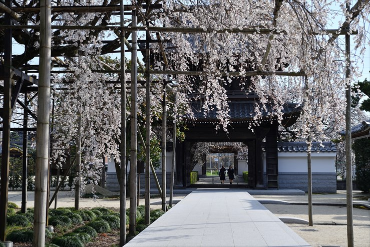 行福寺のしだれ桜_e0170058_17473826.jpg