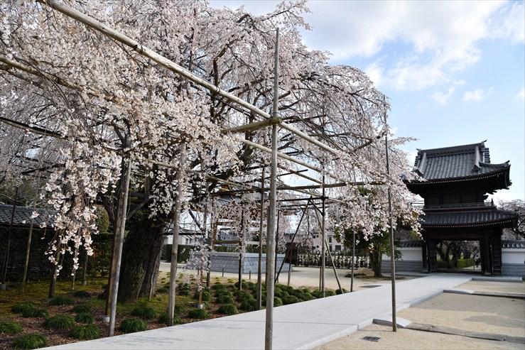 行福寺のしだれ桜_e0170058_1747486.jpg