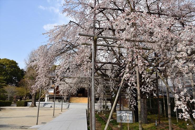 行福寺のしだれ桜_e0170058_17475679.jpg