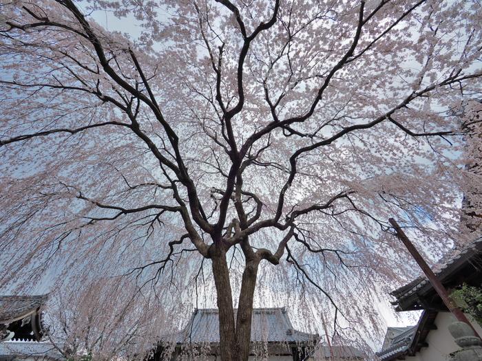 桜 2016  本満寺_f0021869_1954348.jpg