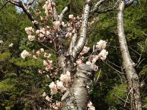 桜!_a0080074_10560554.jpg