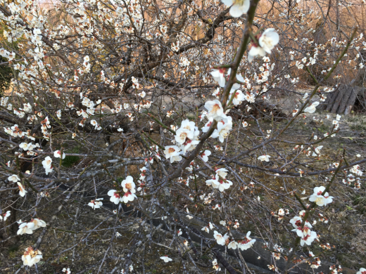 春のお彼岸が過ぎ  静かな境内に _a0274383_07024066.jpg