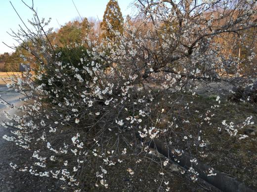 春のお彼岸が過ぎ  静かな境内に _a0274383_07024140.jpg