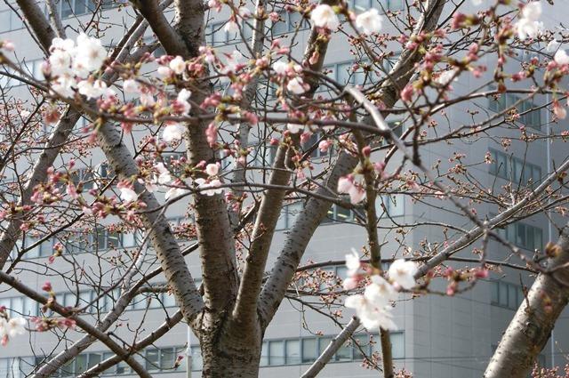 藤田八束の鉄道写真集@大阪環状線の春、桜の花が咲き観光客で大賑わい_d0181492_17315684.jpg