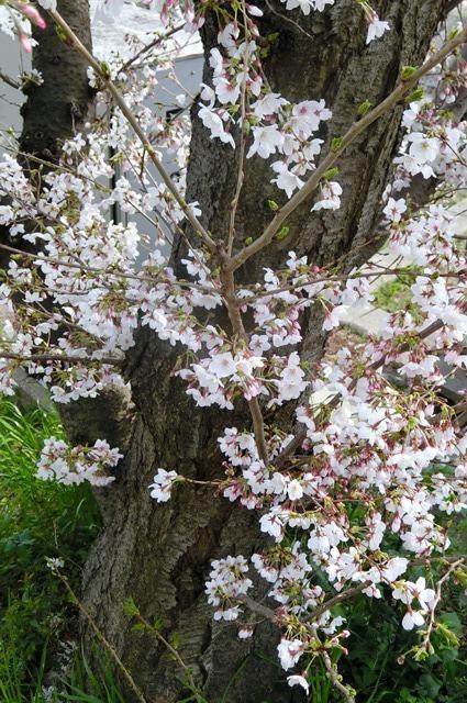 藤田八束の鉄道写真集@大阪環状線の春、桜の花が咲き観光客で大賑わい_d0181492_17325381.jpg