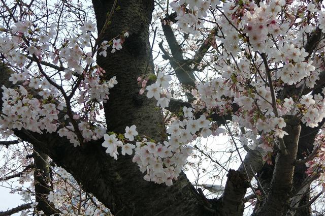 藤田八束の鉄道写真集@大阪環状線の春、桜の花が咲き観光客で大賑わい_d0181492_17330465.jpg