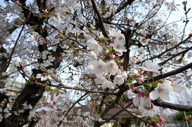 藤田八束の鉄道写真集@大阪環状線の春、桜の花が咲き観光客で大賑わい_d0181492_21521692.jpg