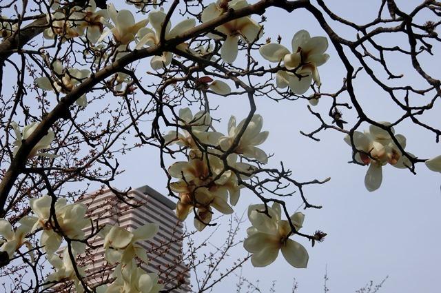 藤田八束の鉄道写真集@大阪環状線の春、桜の花が咲き観光客で大賑わい_d0181492_21523191.jpg