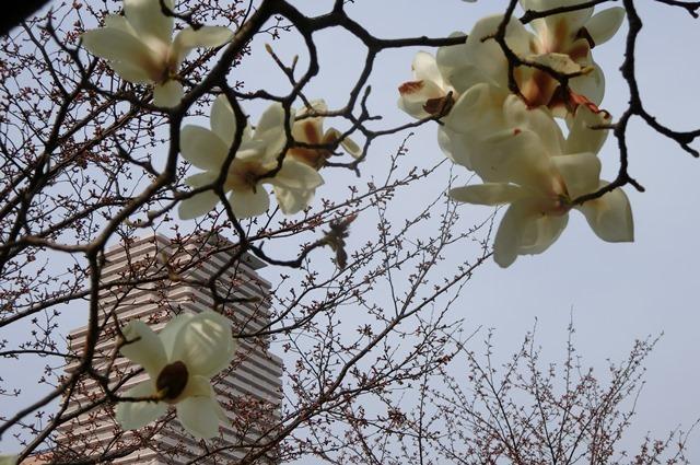 藤田八束の鉄道写真集@大阪環状線の春、桜の花が咲き観光客で大賑わい_d0181492_21524218.jpg