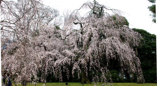 16桜だより13 醍醐寺_e0048413_20304495.jpg