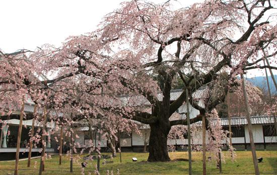 16桜だより13 醍醐寺_e0048413_20312093.jpg