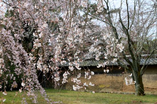 16桜だより13 醍醐寺_e0048413_20315781.jpg