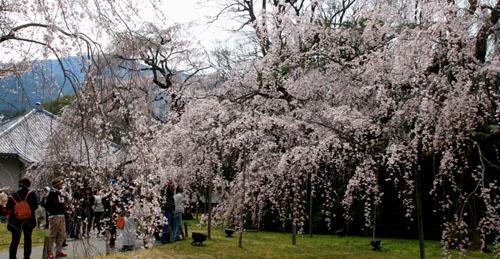 16桜だより13 醍醐寺_e0048413_2031737.jpg