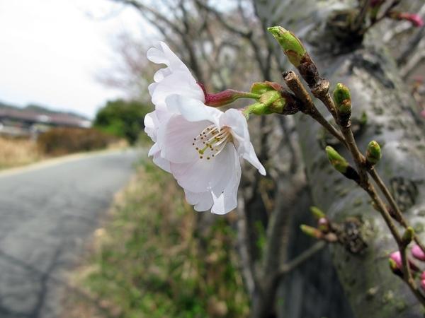 おかげ横丁・おはらい町 桜情報_f0129726_21205465.jpg