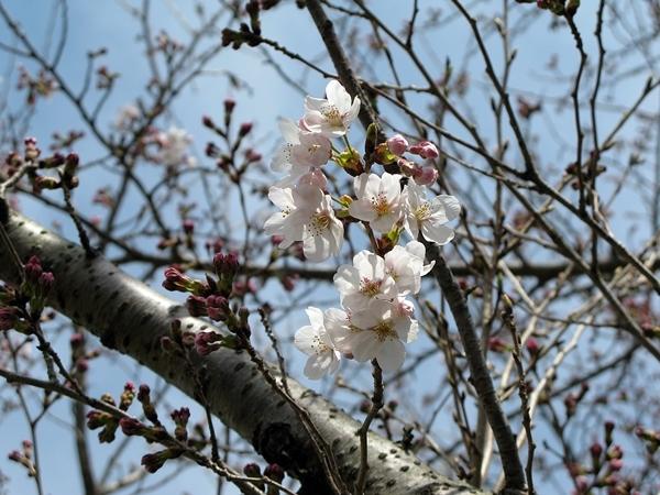 おかげ横丁・おはらい町 桜情報_f0129726_21284802.jpg