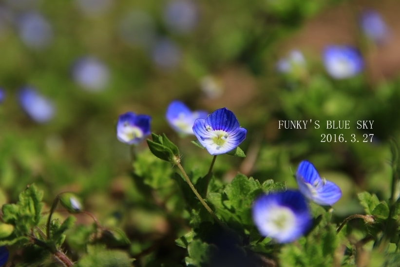 オオイヌノフグリ咲く草原で♪_c0145250_11223033.jpg