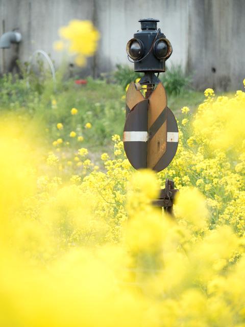 菜の花に包まれて_a0257652_1622328.jpg