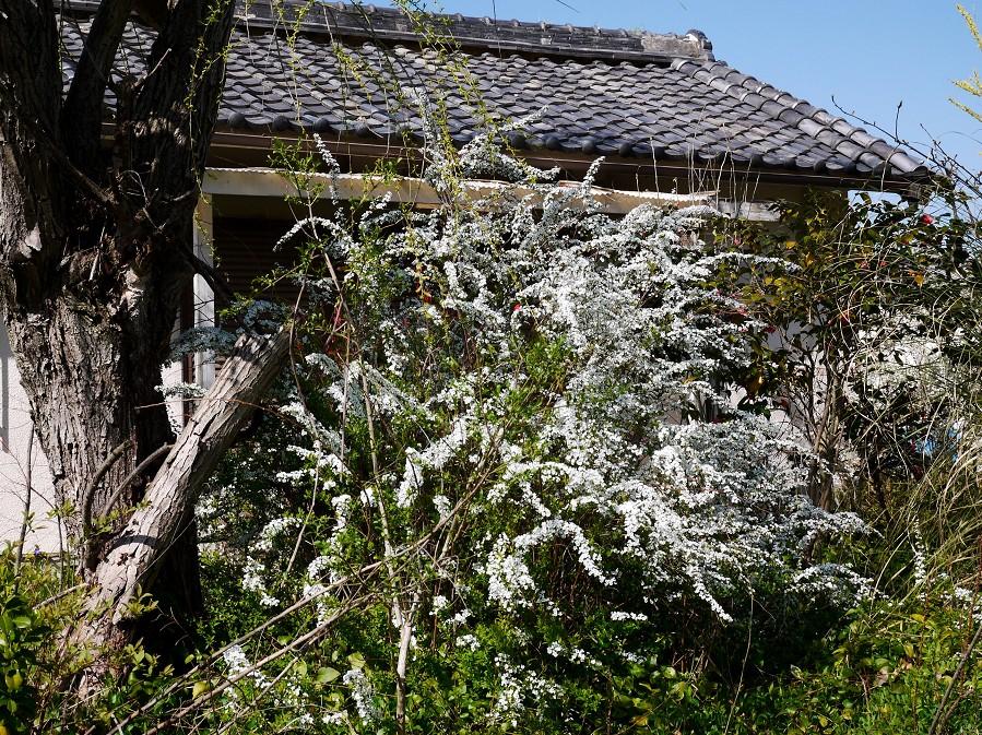 雪柳咲く里山を行く_b0093754_20411143.jpg