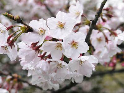 菊池神社、菊池公園の桜photoコレクション 2016_a0254656_19253258.jpg