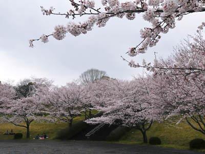 菊池神社、菊池公園の桜photoコレクション 2016_a0254656_19363240.jpg