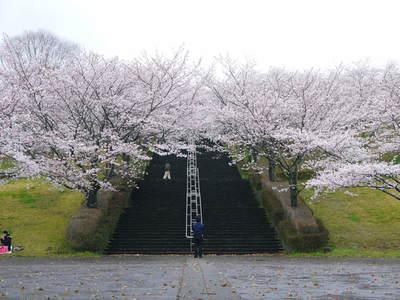 菊池神社、菊池公園の桜photoコレクション 2016_a0254656_1938447.jpg